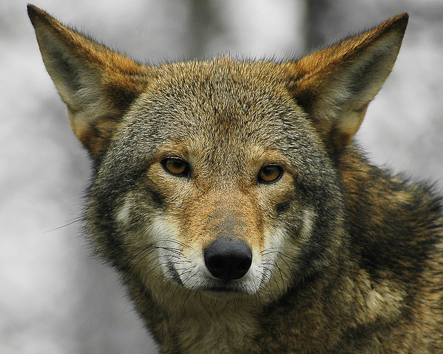 wolf_medium_367041320