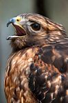 hawk-raptor-100153132