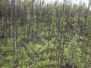 post-beetle-fallen-pine-trees-damages-from-a-helicopter-shot